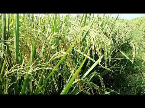 jual benih padi mira 1